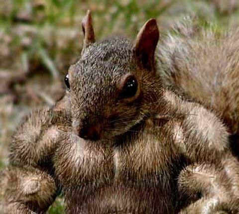 Muscular-Squirrel